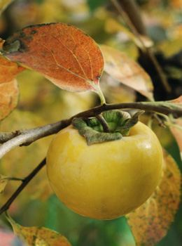 孕妇吃柿子的好处有哪些?