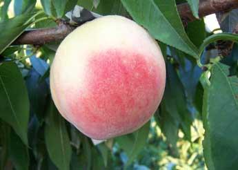 孕妇可以吃桃子吗?怀孕吃桃子的好处