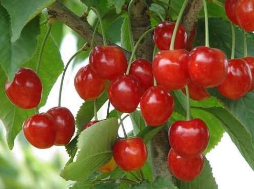 孕妇能吃樱桃吗?怀孕吃樱桃的好处