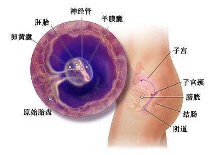 怀孕五周症状_胎儿图_孕妇身体变化_怀孕5周注意事项