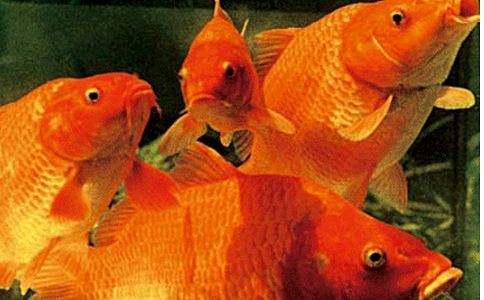 孕妇梦见鲤鱼代表什么?怀孕期梦到鲤鱼好吗