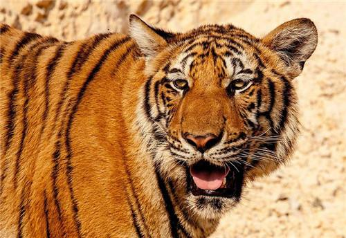 梦见老虎_孕妇梦见老虎是什么意思?怀孕梦到老虎是生男孩还是生