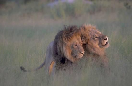 孕妇梦见狮子代表什么?孕期梦到狮子是什么意思