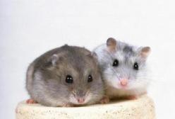 孕妇梦见老鼠是什么含义?怀孕梦见好多老鼠是不是不好啊