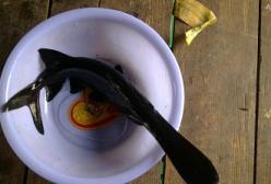 孕妇能吃鸭嘴鱼吗?怀孕吃鸭嘴鱼好吗?