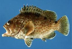 产妇可以吃石斑鱼吗?产后吃石斑鱼营养吗?