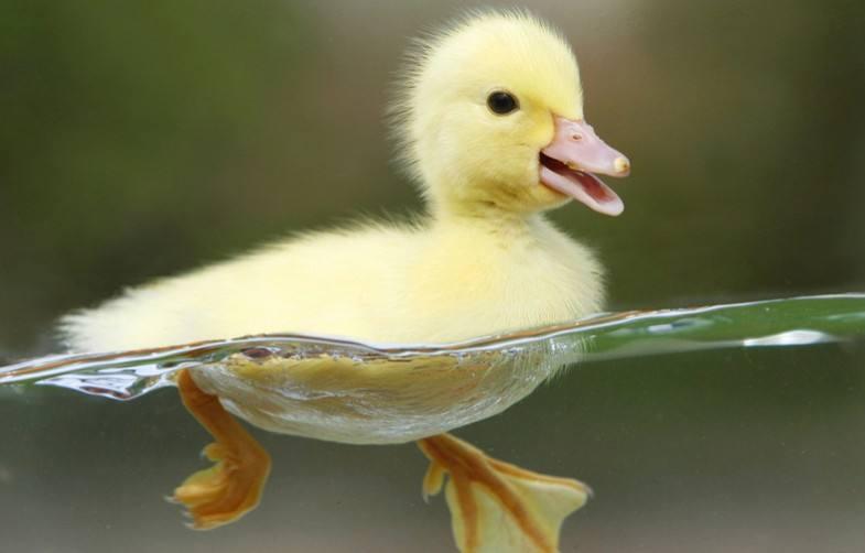 孕妇梦见鸭子代表什么?怀孕梦到鸭子是生男还是生女